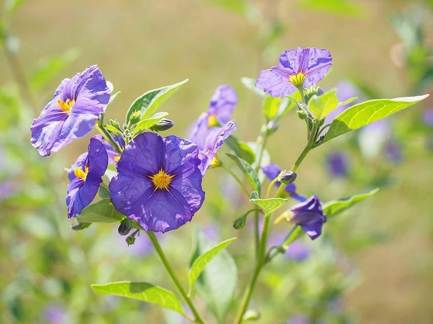 enciánbokor virágai