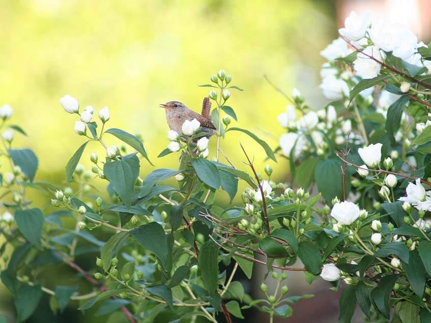 érdeslevelű gyöngyvirágcserje madarral