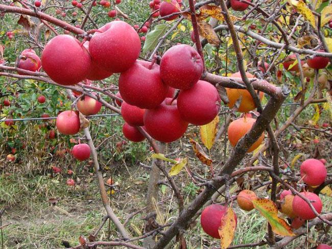 októberi érett almák