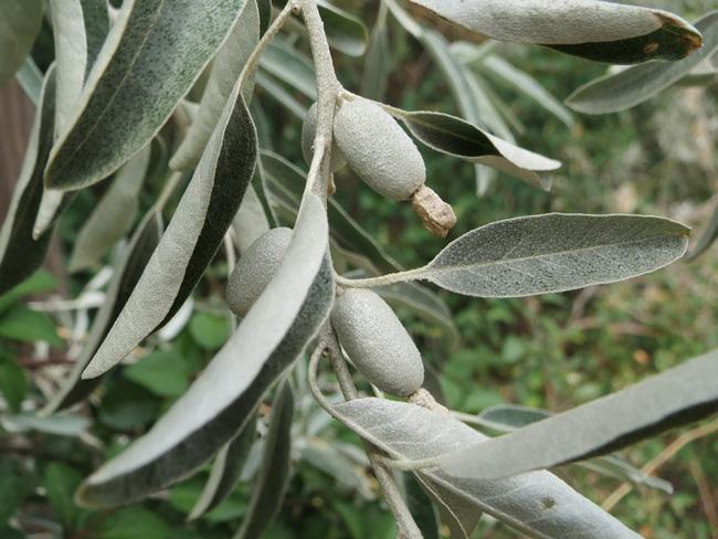 terméses ezüstfa