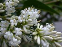 fagyal virágzat
