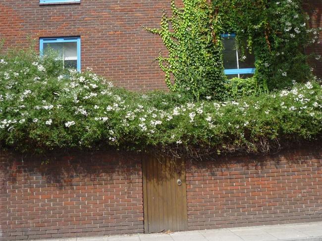 falon átbukó növény