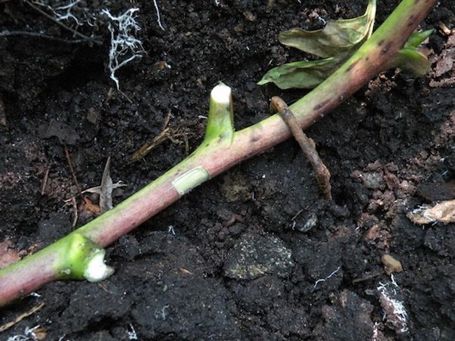 fás bazsarózsa szaporítása bujtással