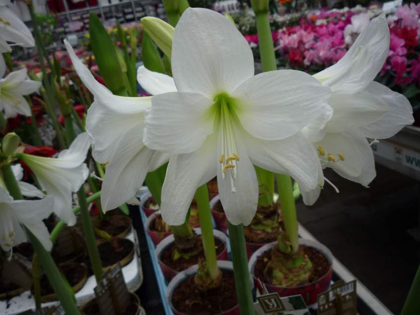 fehérvirágú amarillisz