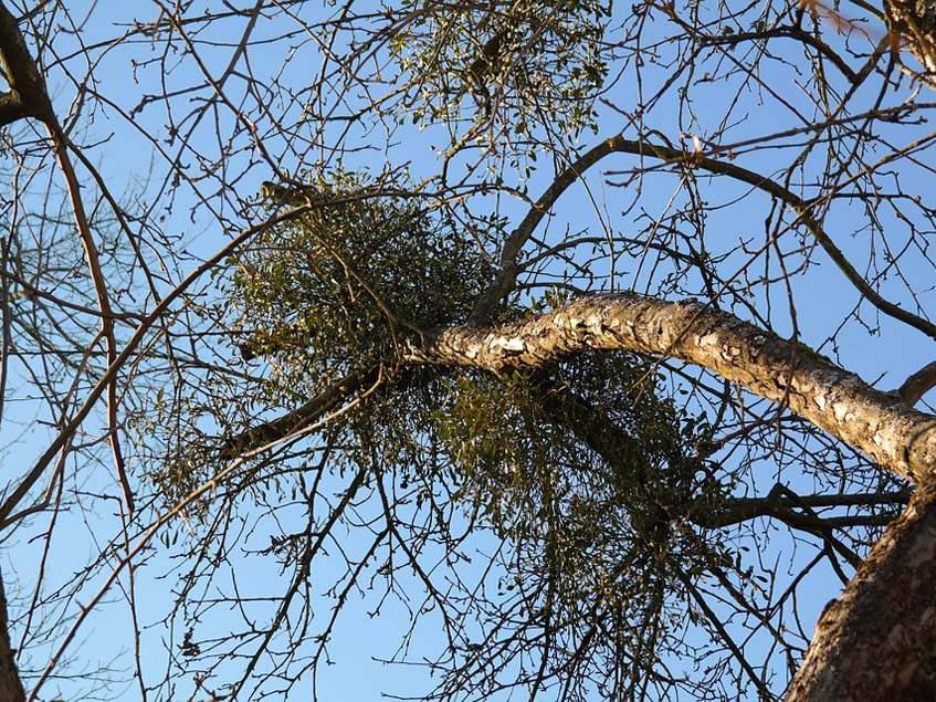 fehér fagyöngy fán