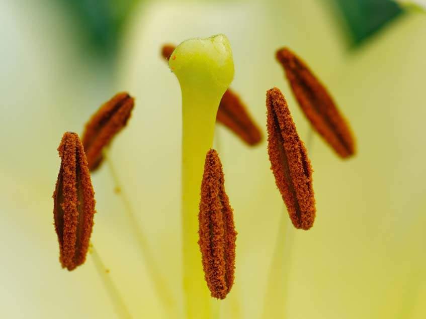 fehér liliom porzók és termő
