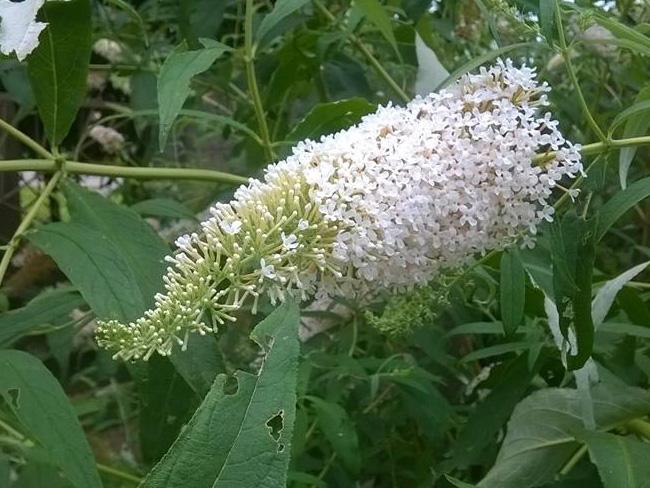 fehér virágú nyári orgona