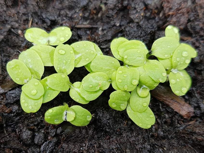 fejes saláta csíranövények