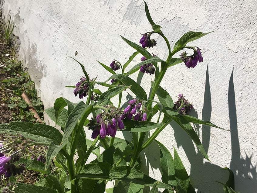 virágzó fekete nadálytő