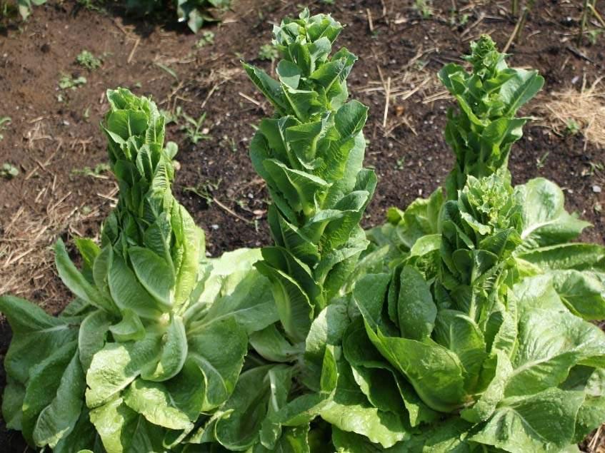 felmagzott saláta