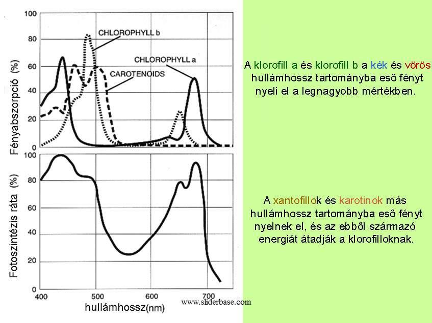 fényabszorpció vs. fotoszintézis