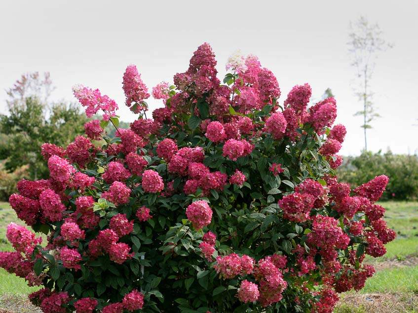 Hydrangea paniculata 'Fire Light'