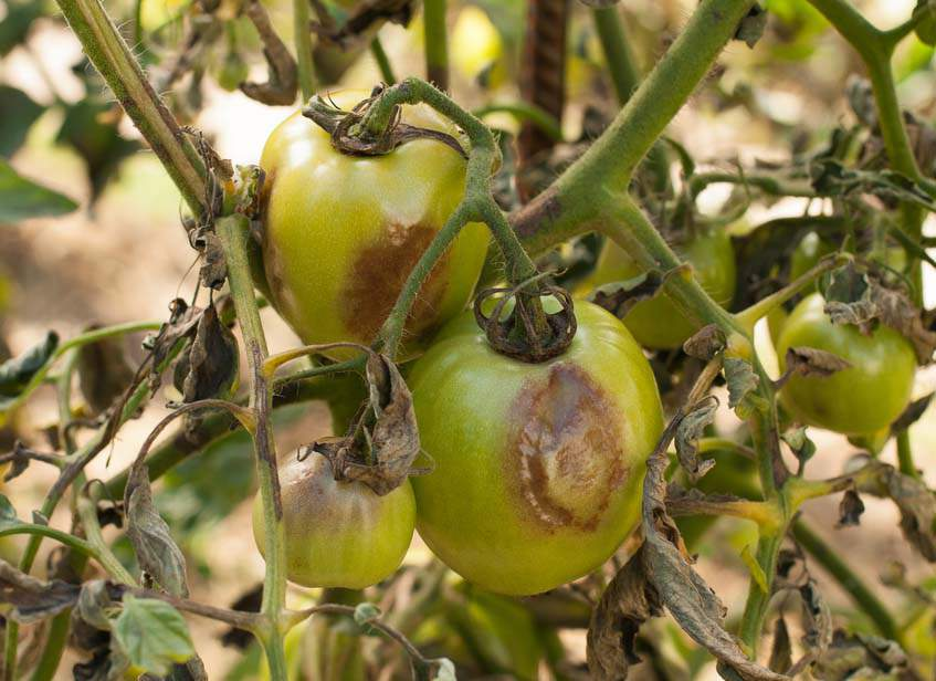 fitoftóras paradicsomnövény