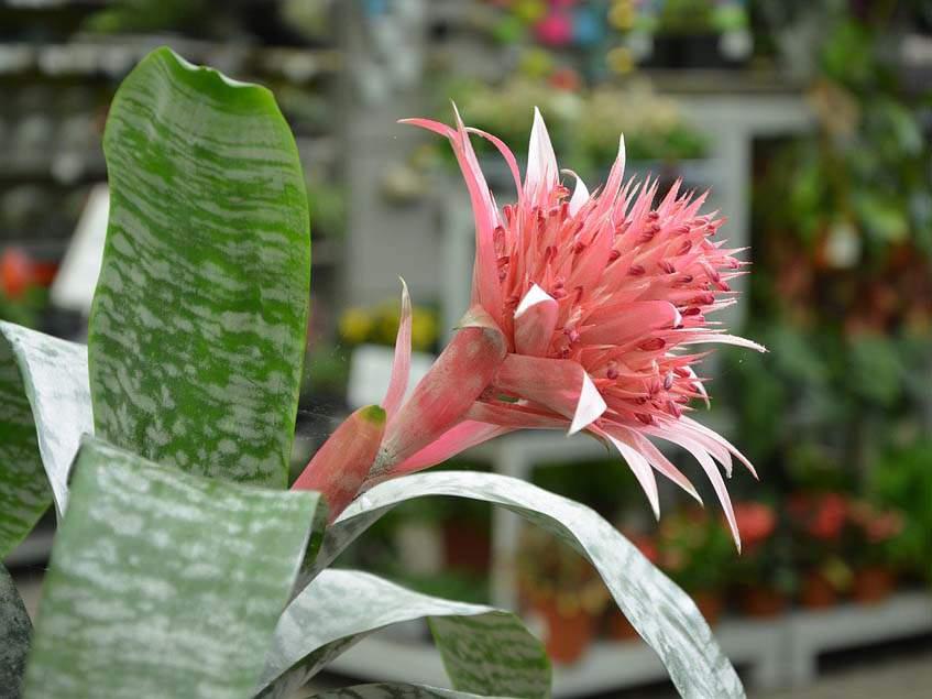 virágzó szúrós lándzsarózsa