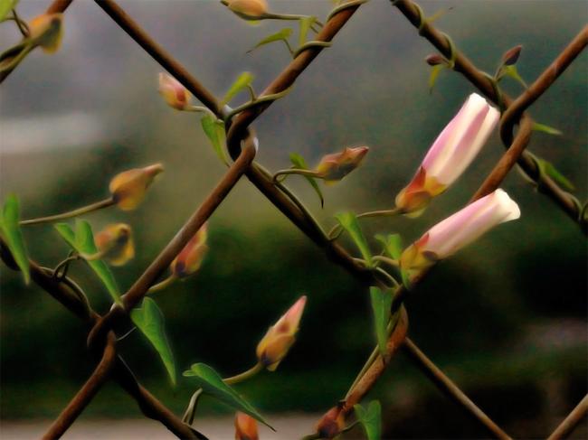 kerítésre futtatott virág