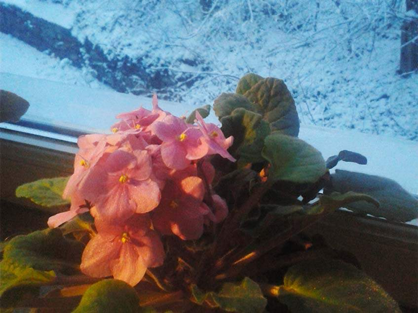télen virágzó fokföldi ibolya