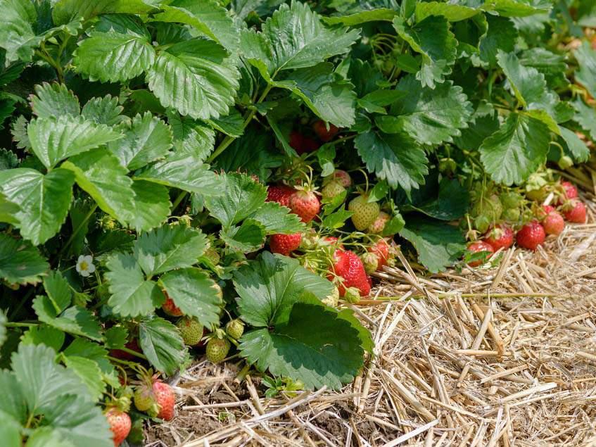 földieper termesztése