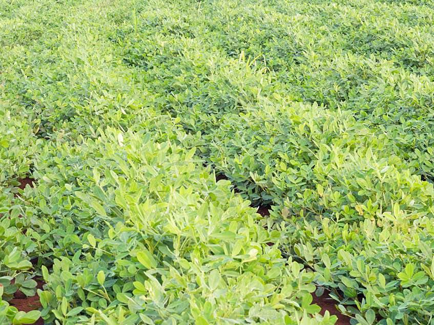 földimogyoró ültetvény