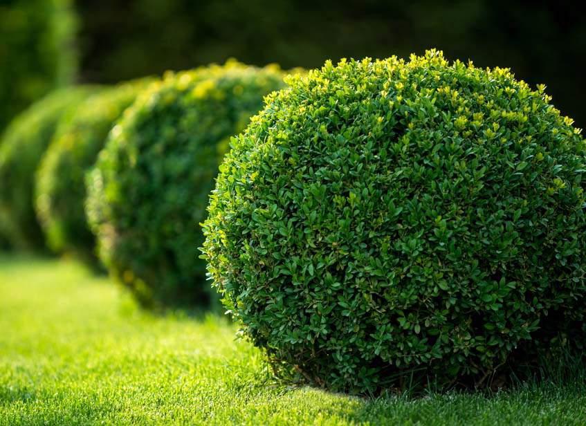 gömb alakú bukszus