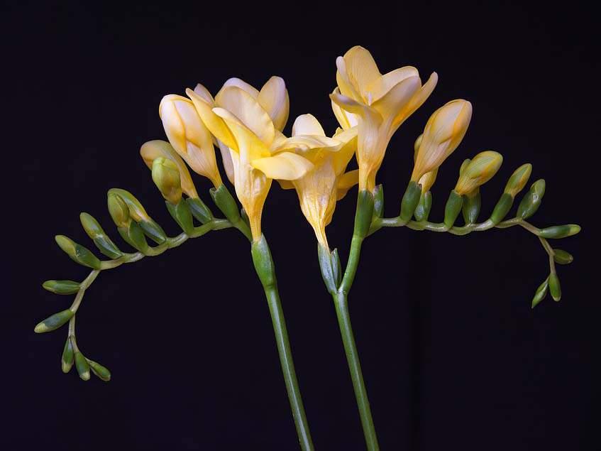 frézia virágzat