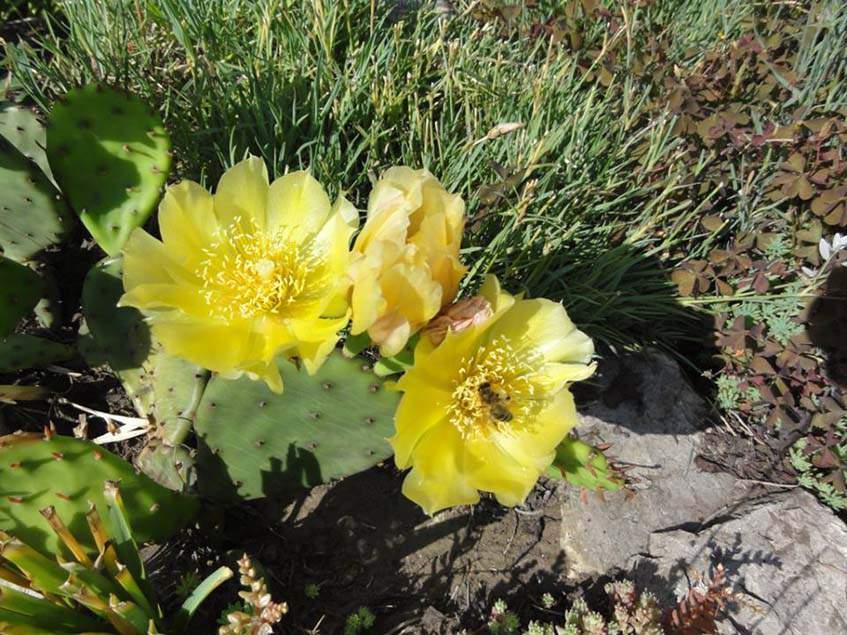 fügekaktusz virága