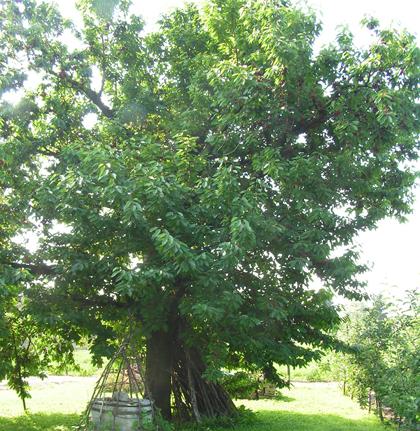 'Germesdorfi', cseresznyefa kombinált koronára nevelve