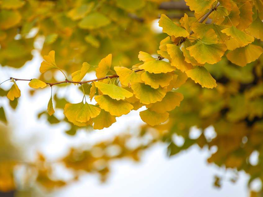 ginkgo őszi lombja