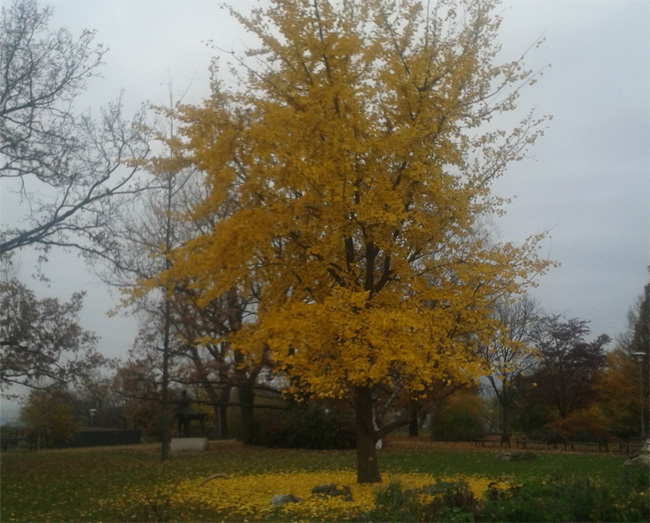 ginkgo őszi lombszíne