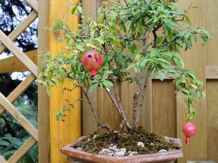 gránátalma bonsai