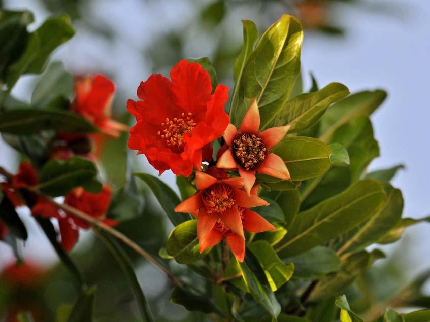 gránátalma virága