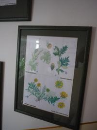 gyógynövény illusztrációk