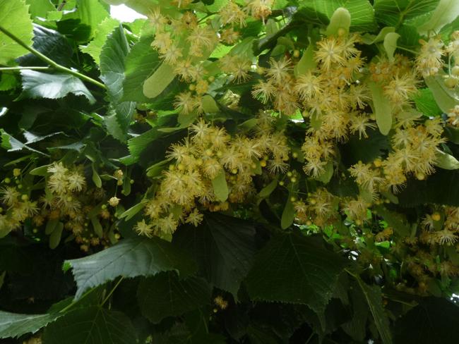 hársfavirágzat