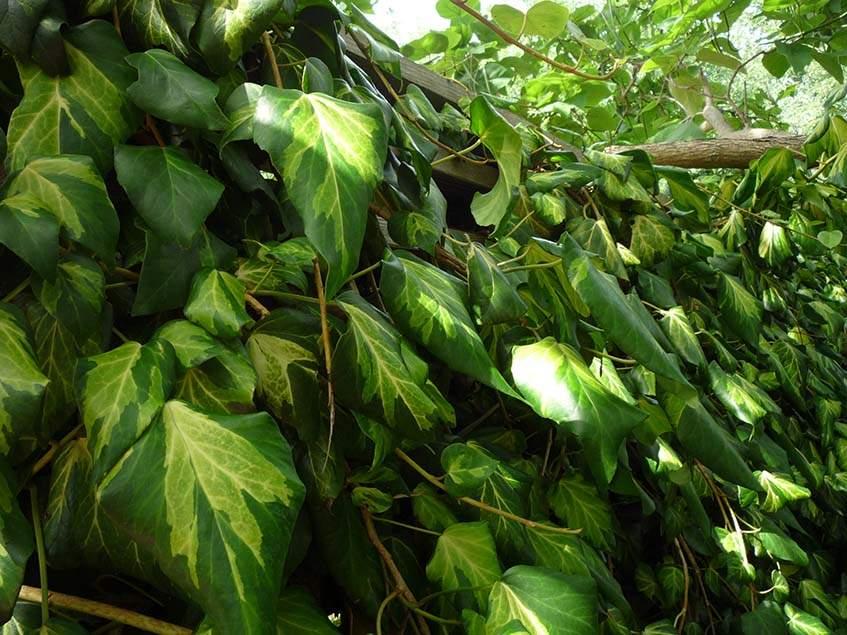 Hedera colchica 'Sulphur heart'
