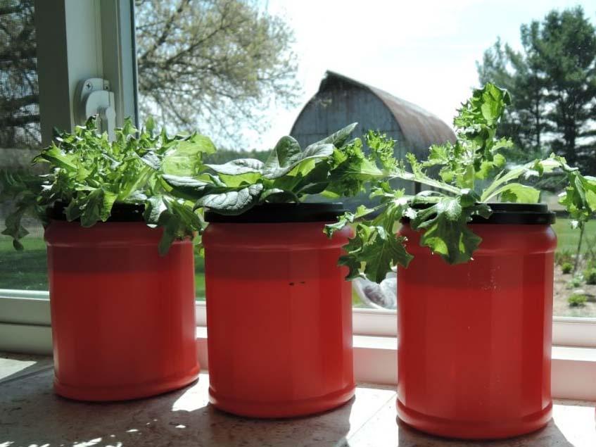 hidroponikus saláta a konyhaablakban