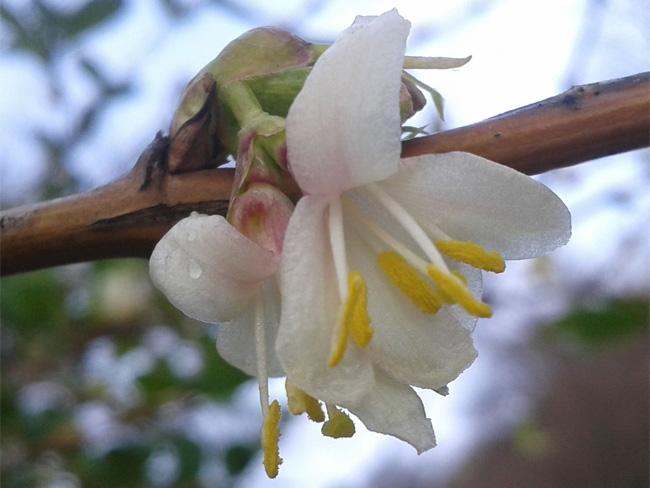 illatos lonc virága
