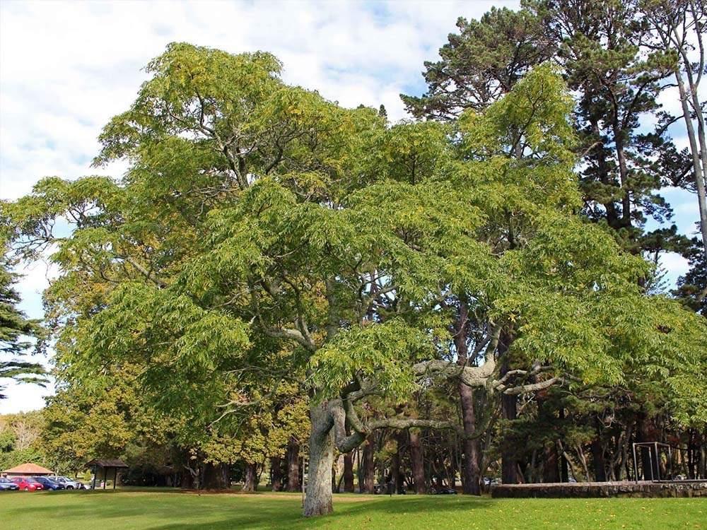imafüzér fa