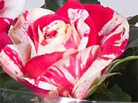 Imola cserepes rózsa