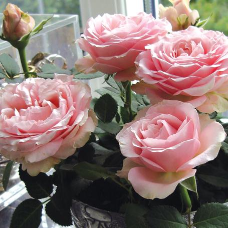 infinity rózsa, Princess sorozat