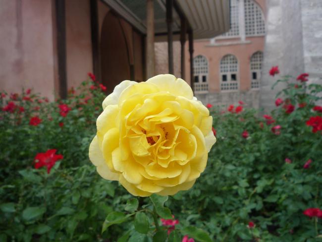 isztambuli rózsák