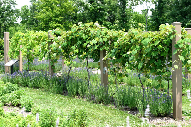 izsóp szőlő társítás