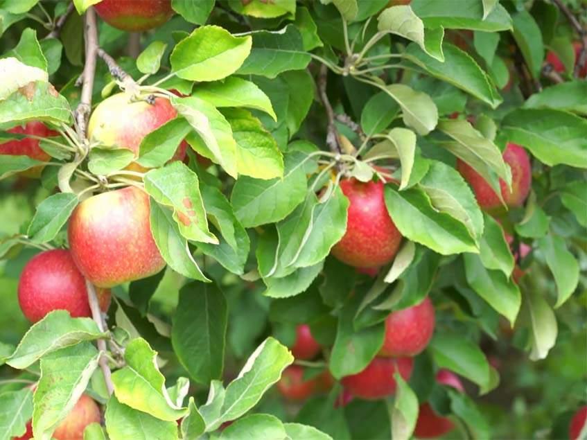 Jonatán almafa