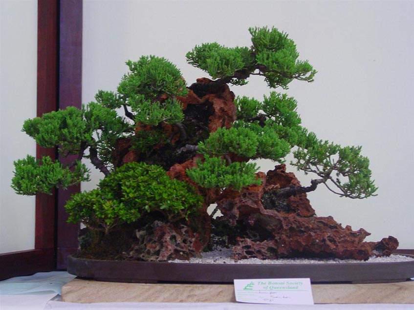 Juniperus saikei