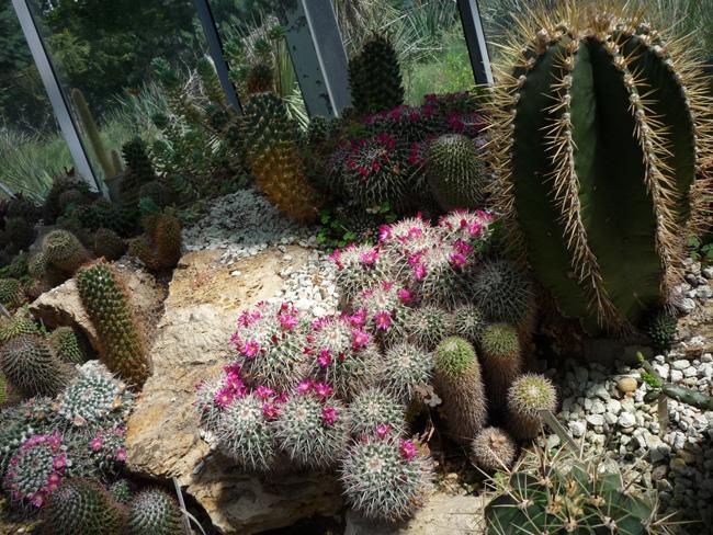 kaktuszok az ELTE Füvészkertben