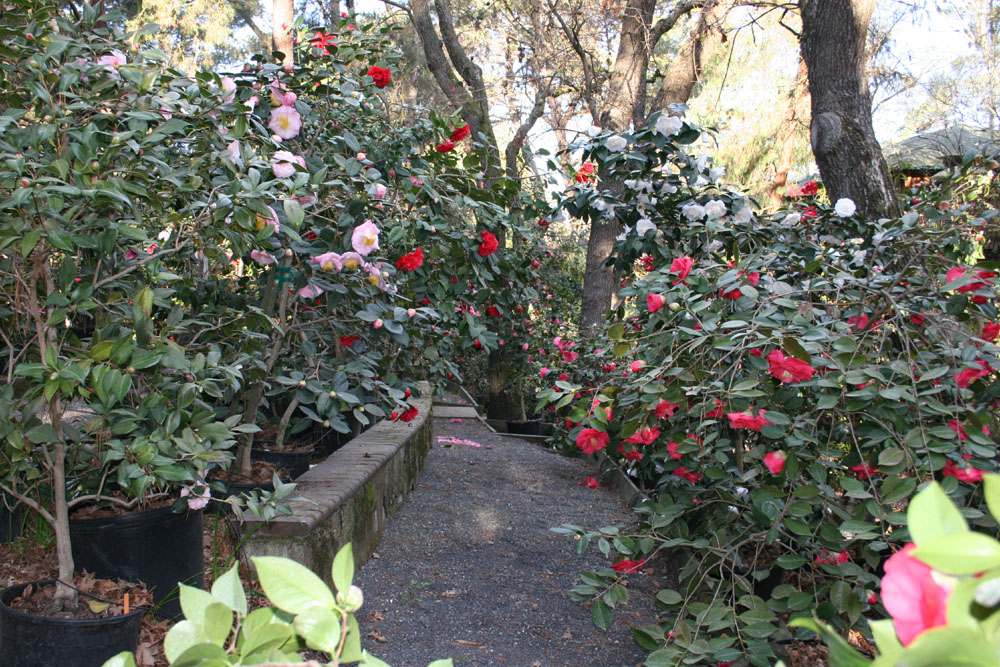 kamélia a kertben