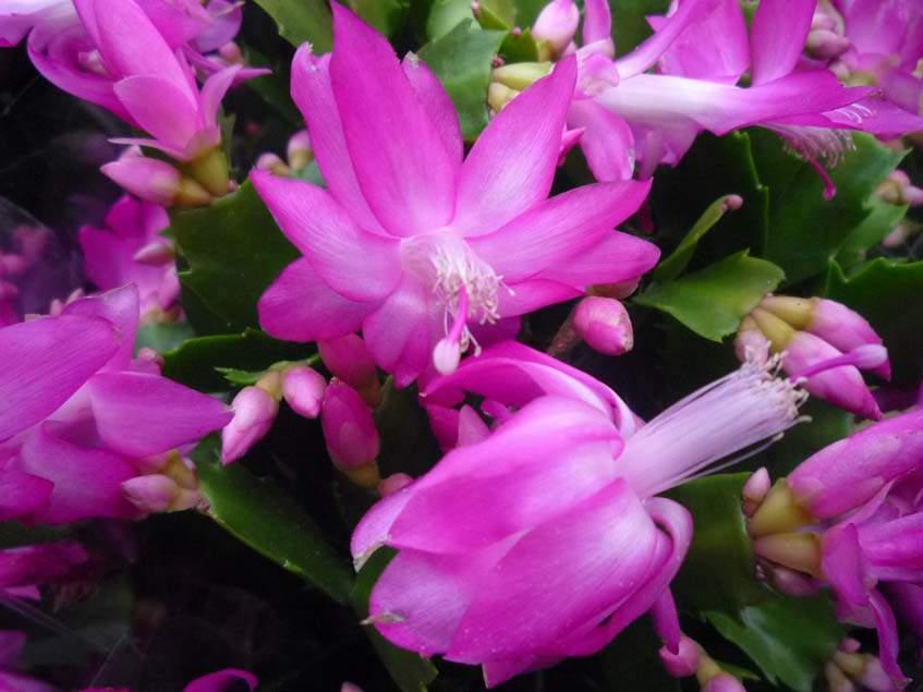 rózsaszín virágú karácsony kaktusz