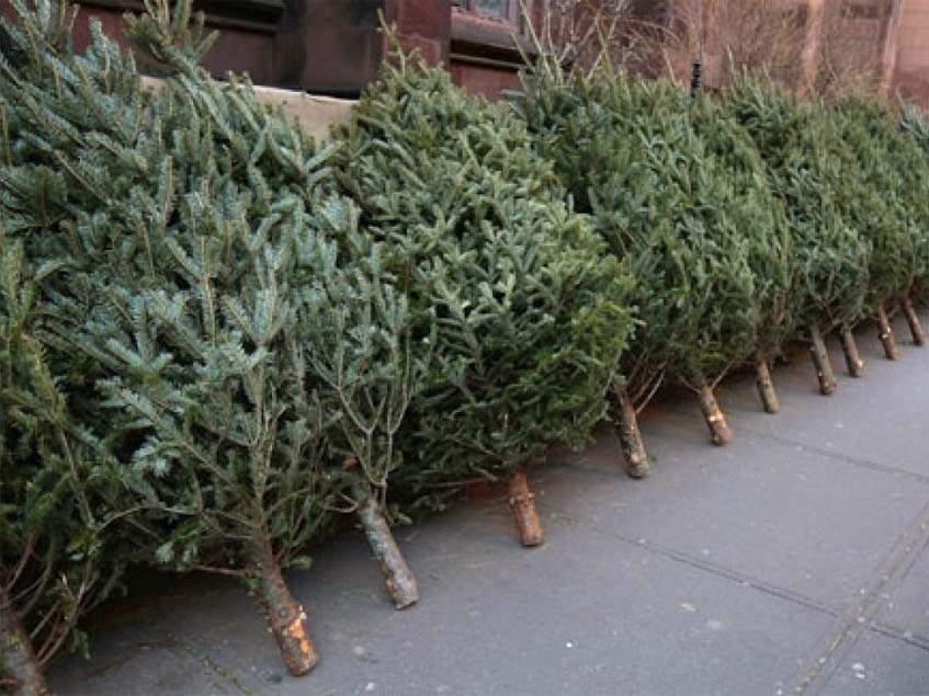 karácsonyfa begyűjtése