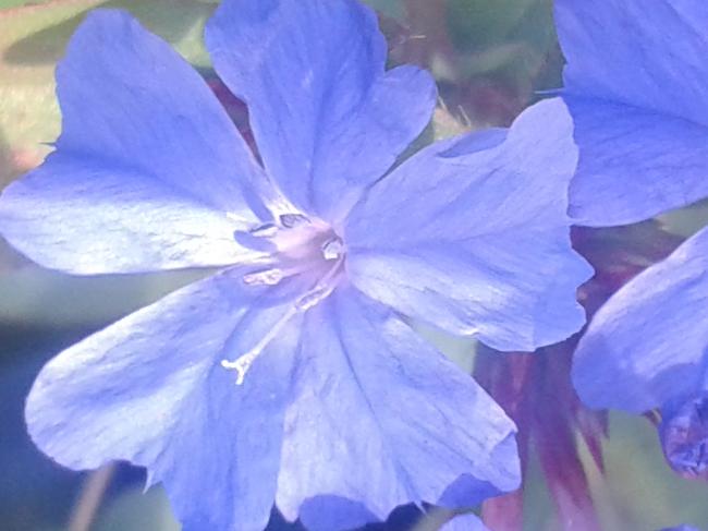 kékgyökér viraga