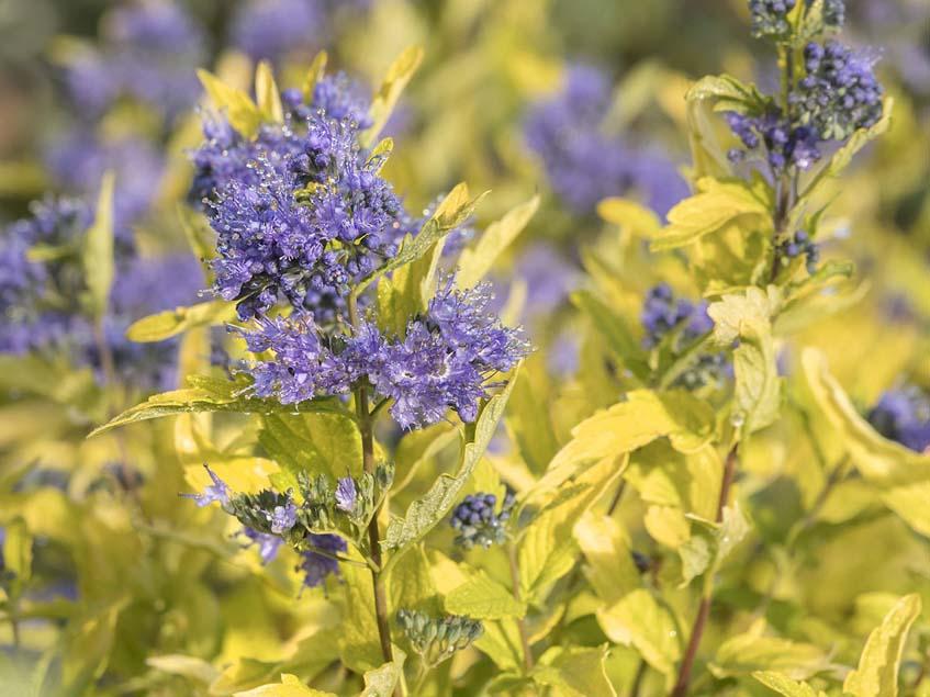La Barbe Bleue Bluebeard kékszakáll