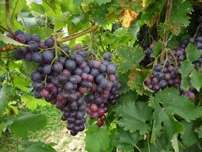 kék csemegeszőlő