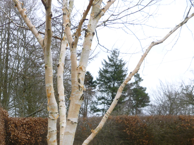 nyírfa tisztított kérge